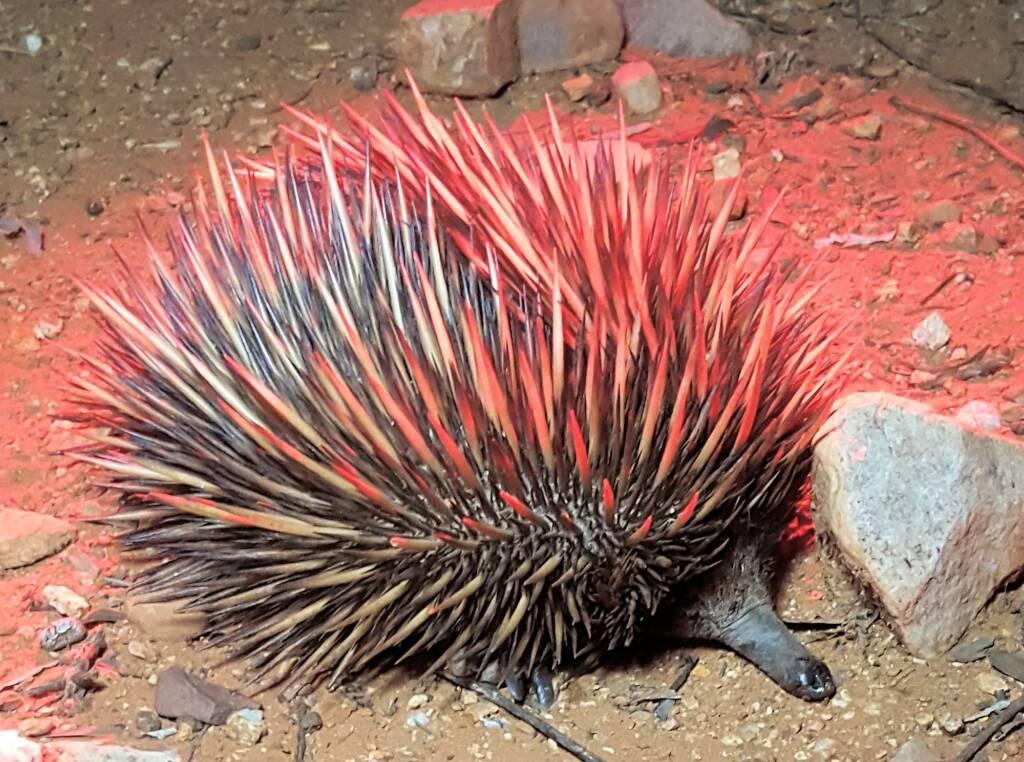 Short-beaked Echidna on the Alice Springs Desert Park Nocturnal Tour