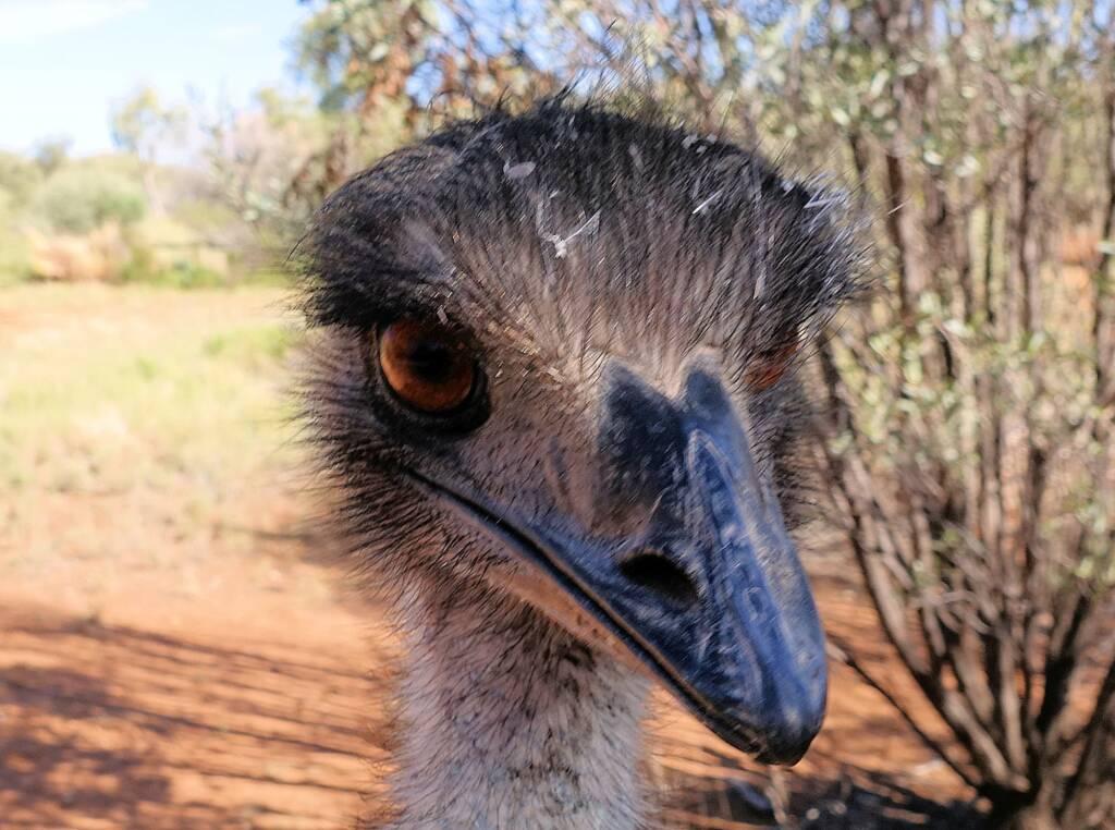 Emu (Dromaius novaehollandiae), Alice Springs Desert Park