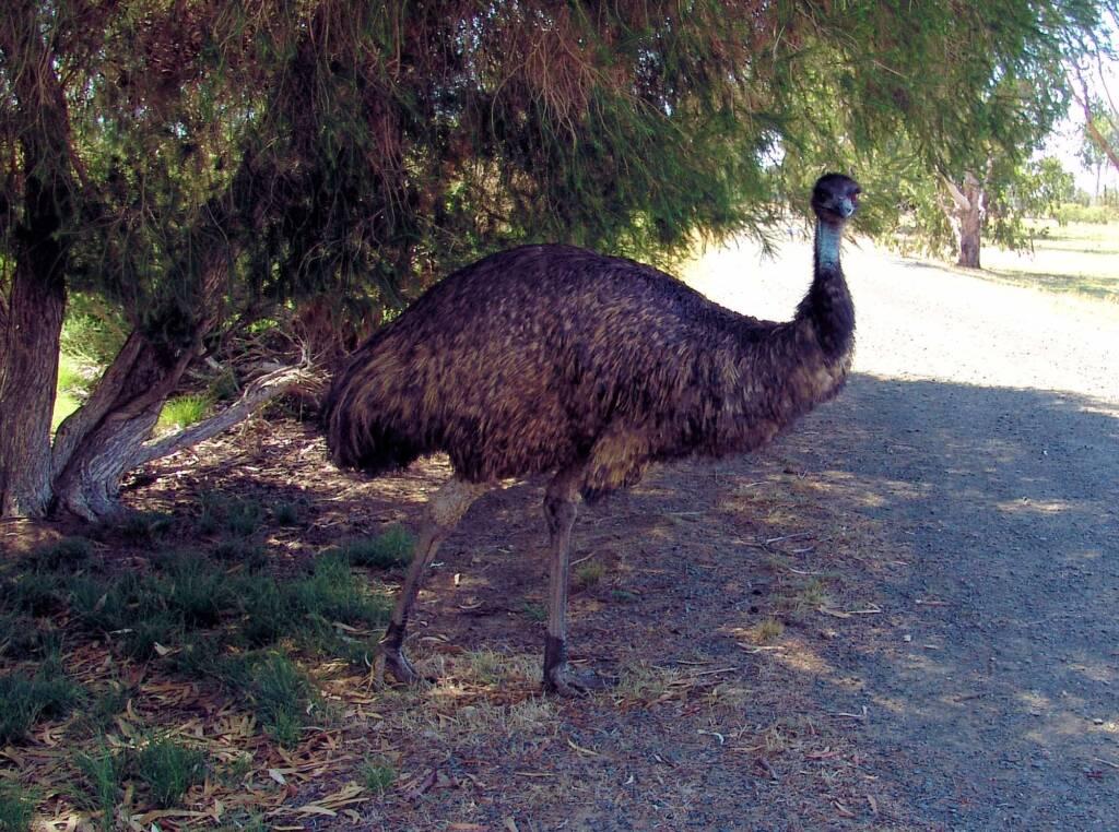 Emu, Kyabram Fauna Park, VIC