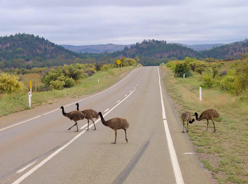 Emus (Dromaius novaehollandiae), Flinders Ranges, SA