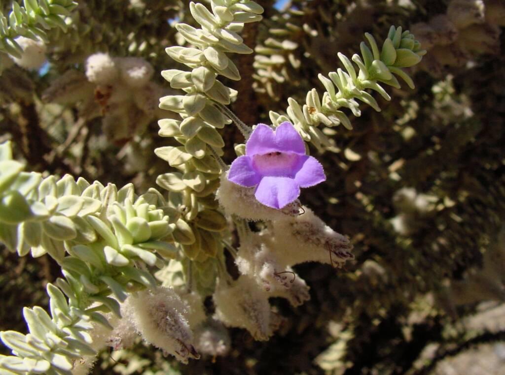 Woolly-sepaled Eremophila (Eremophila lachnocalyx), Australian Arid Lands Botanic Garden