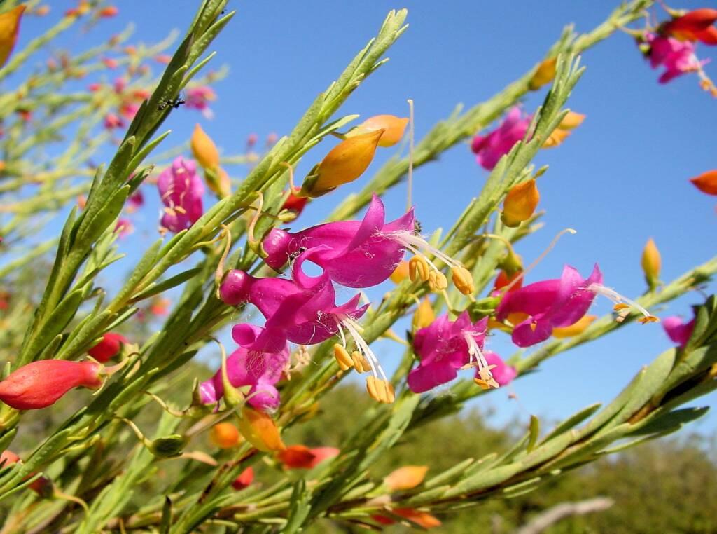 Showy eremophila (Eremophila racemosa), Australian Arid Lands Botanic Garden