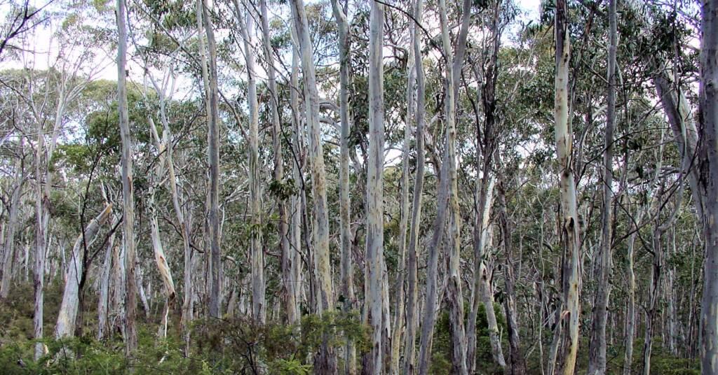 Eucalypt woodland forest, Mount Kaputar, NSW