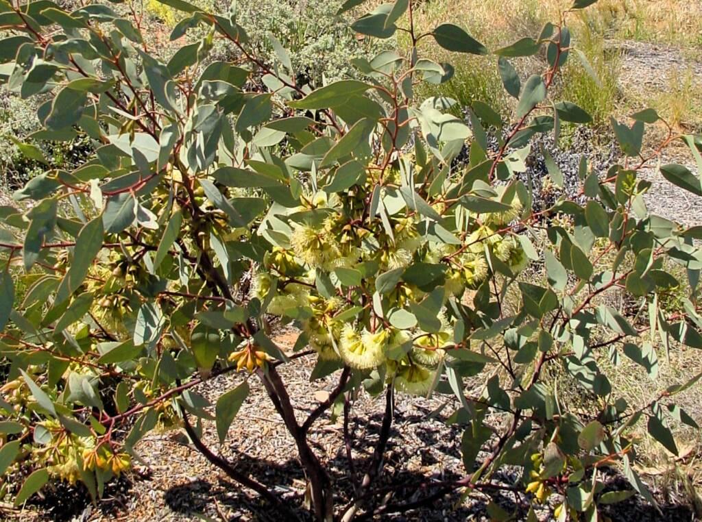 Pimpin Mallee (Eucalyptuspimpiniana), Australian Arid Lands Botanic Garden