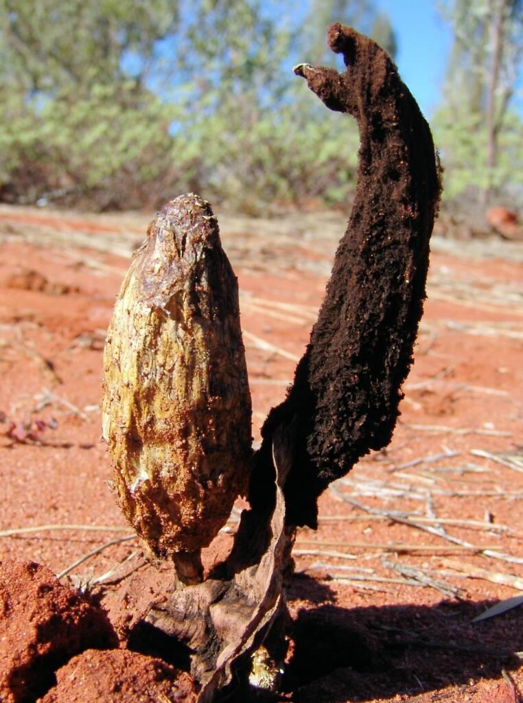False Shaggy Mane (Podaxis pistillaris), Uluru-Kata Tjuta National Park