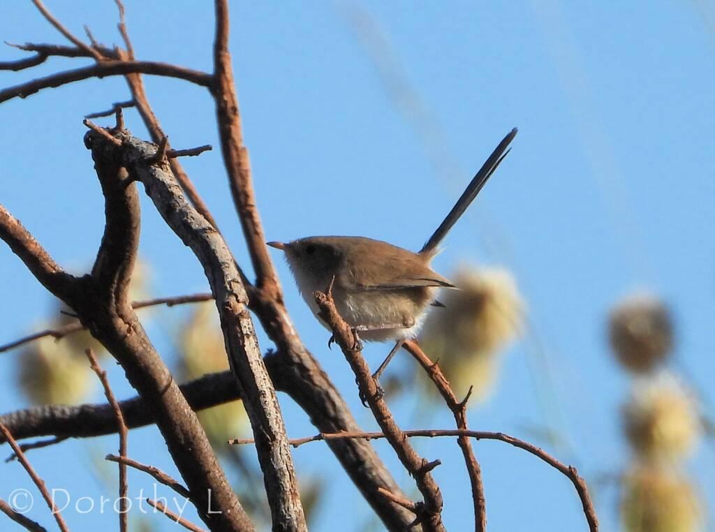 Female White-winged Fairywren (Malurus leucopterus)