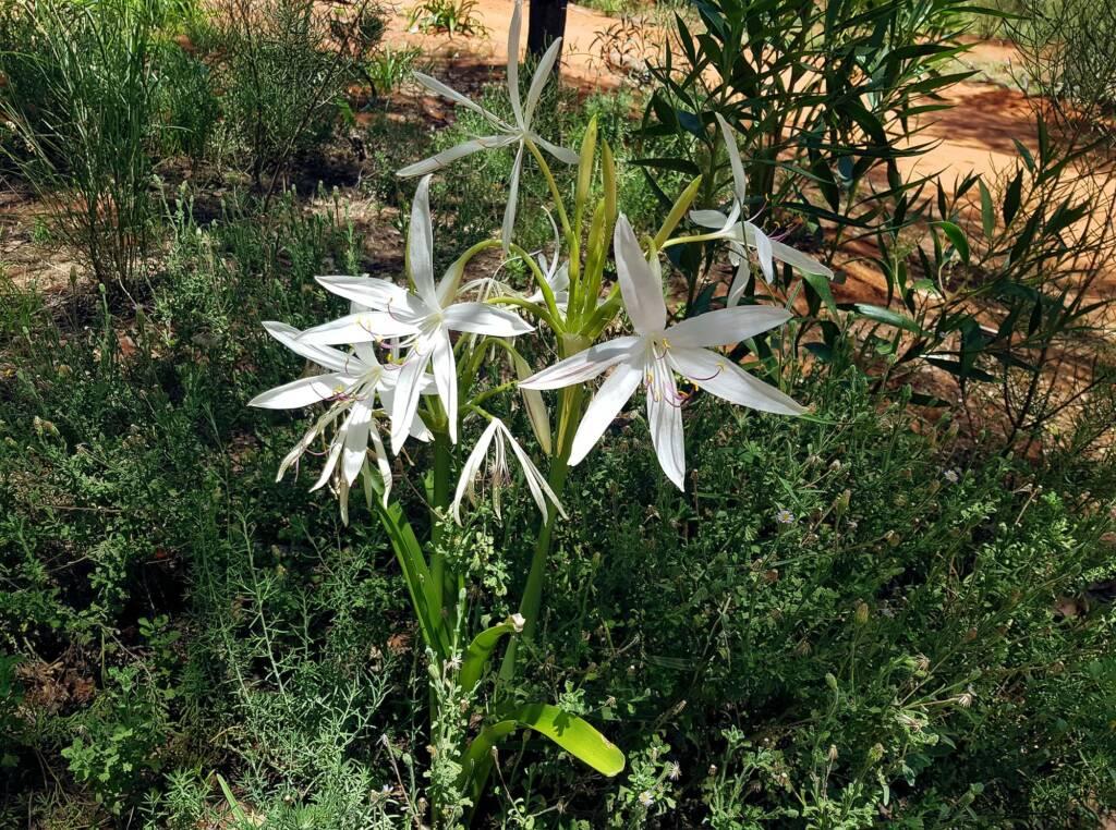 Field Lily (Crinum angustifolium)