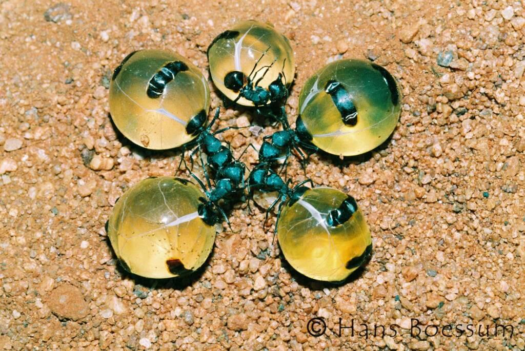 Five Honey Ants © Hans Boessum