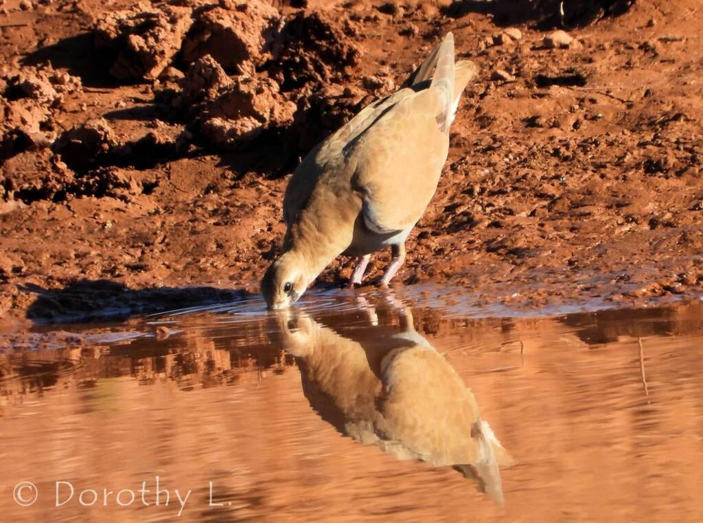 Flock Bronzewing (Phaps histrionica), Central Australia