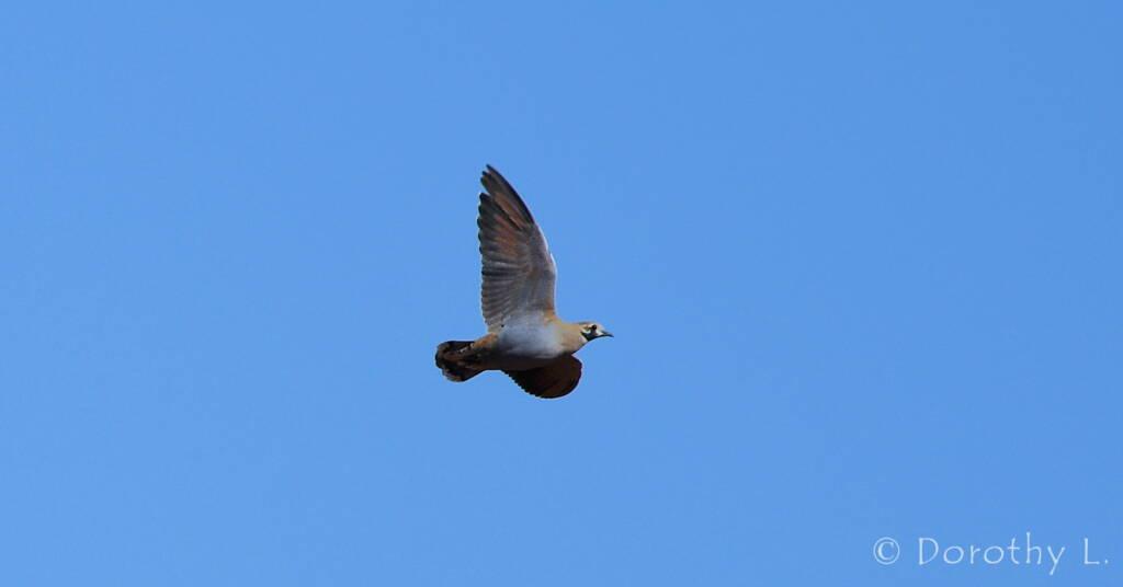 Flock Bronzewing (Phaps histrionica)