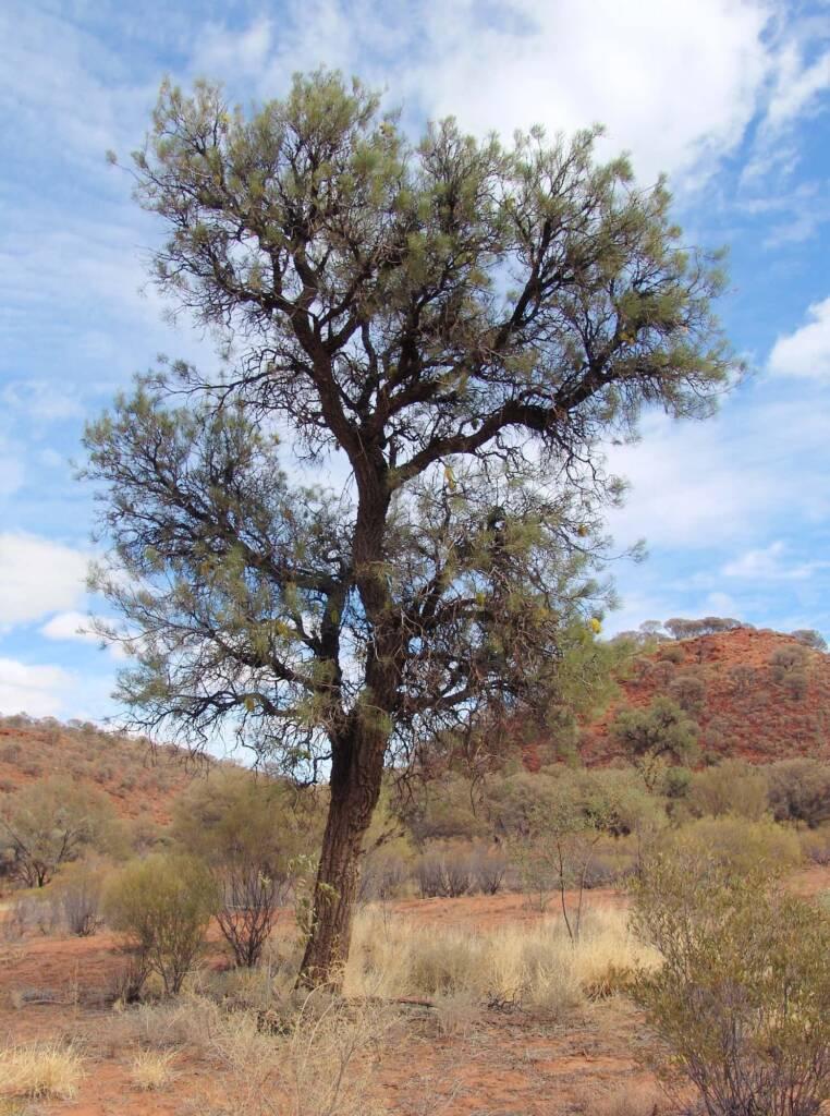 Fork-leaved Corkwood (Hakea divaricata)
