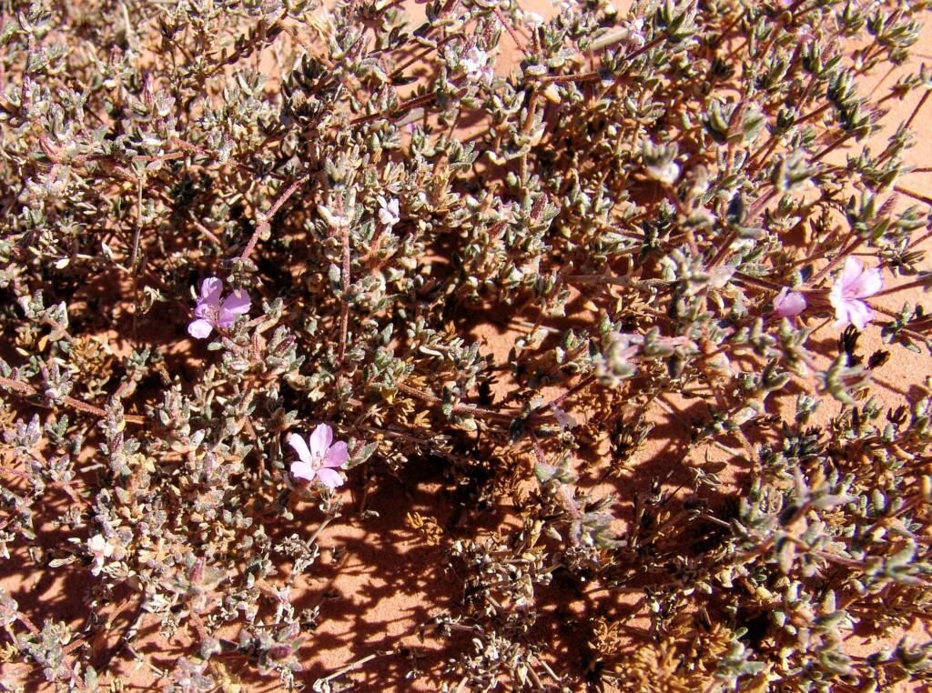 Sea heath (Frankenia cordata)