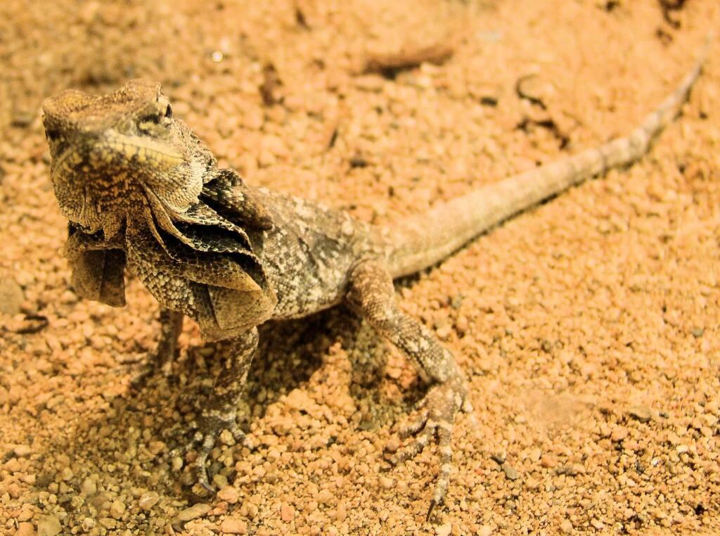Frilled Neck Lizard (Chlamydosaurus kingii), Alice Springs Reptile Centre