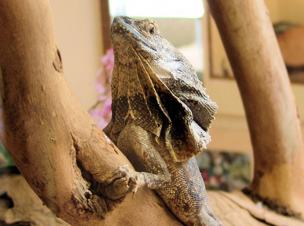 Frilled Neck Lizard (Chlamydosaurus kingii), Alice Springs Reptile Centre