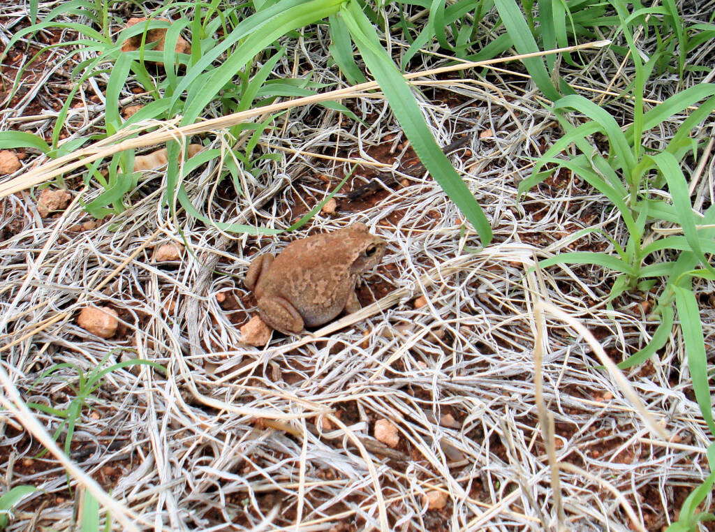 Main's Frog (Cyclorana maini) at Uluru