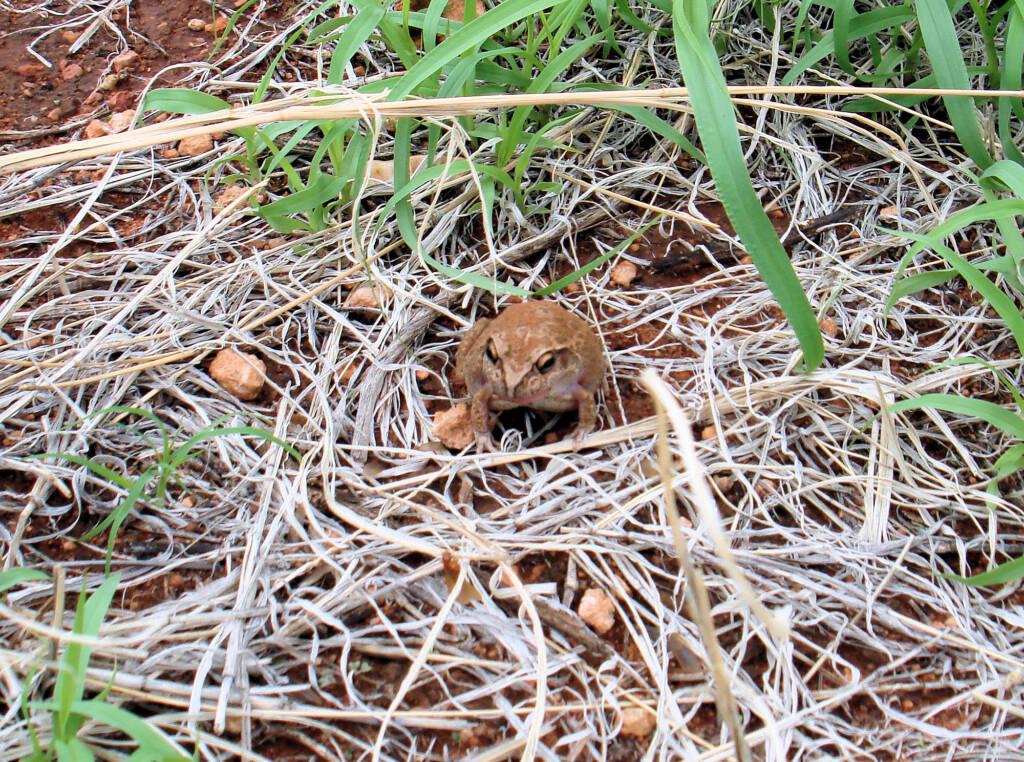 Main's Frog (Cyclorana maini) at Uluru