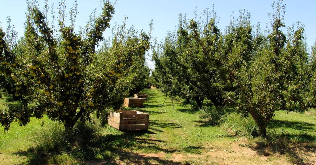 Fruit picking in the Goulburn Valley, VIC
