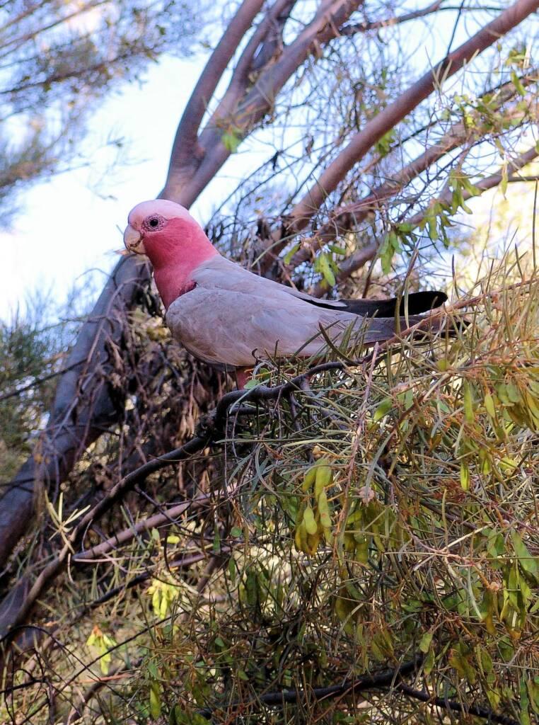 Galah (Eolophus roseicapilla), Alice Springs Desert Park