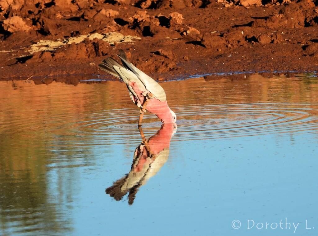 Galah (Eolophus roseicapilla), Santa Teresa, NT