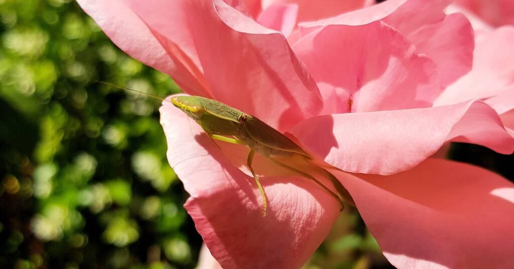 Garden Mantis (Orthodera ministralis)