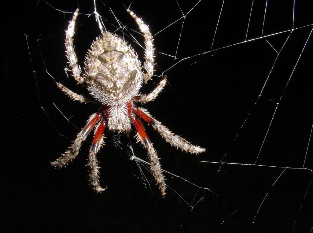 Garden Orb Weaving Spider (Eriphora biapicata), near Goulburn, NSW