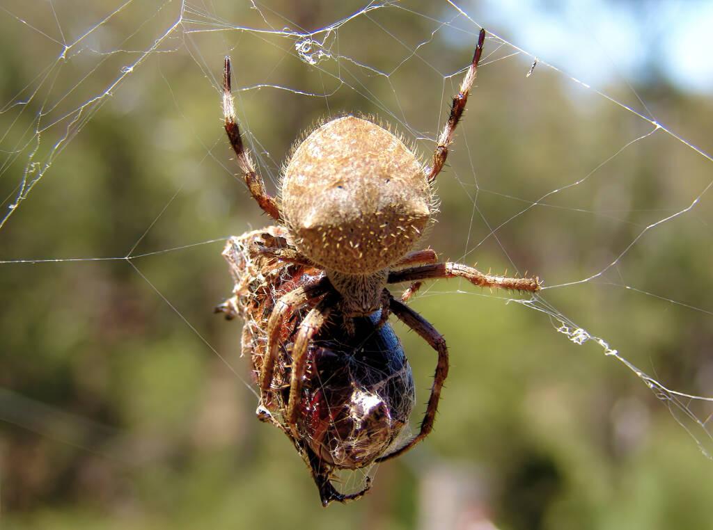 Garden Orb Weaving Spider (Eriphora transmarine), near Goulburn, NSW