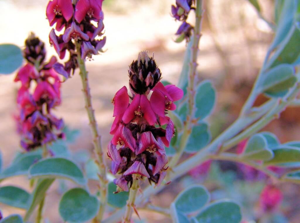 Georges Indigo (Indigofera georgei), Alice Springs Desert Park