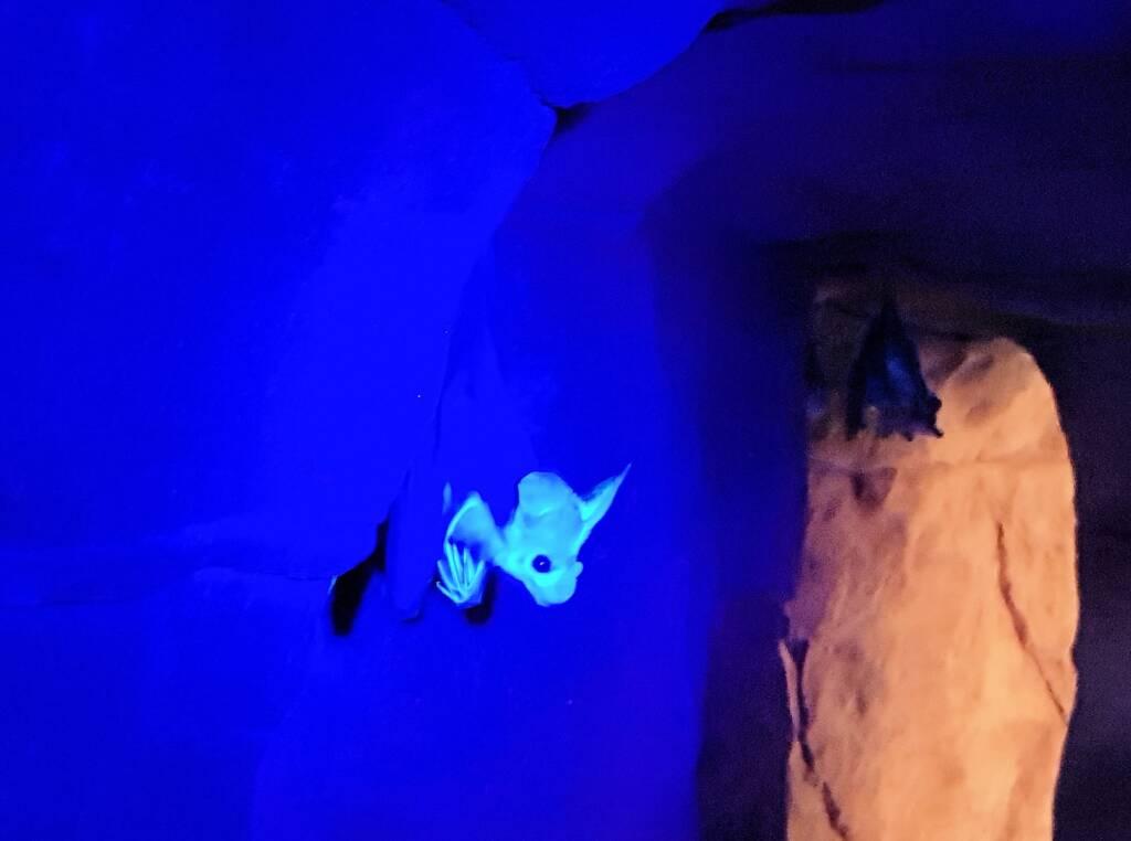 Ghost Bat (Macroderma gigas), Alice Springs Desert Park