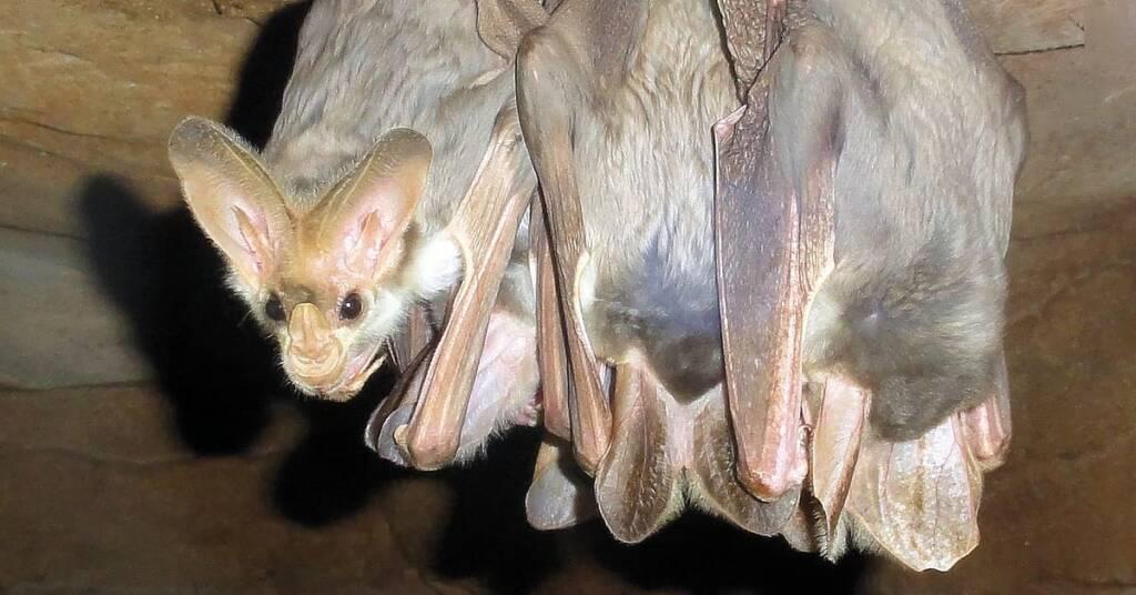 Ghost Bats (Macroderma gigas)