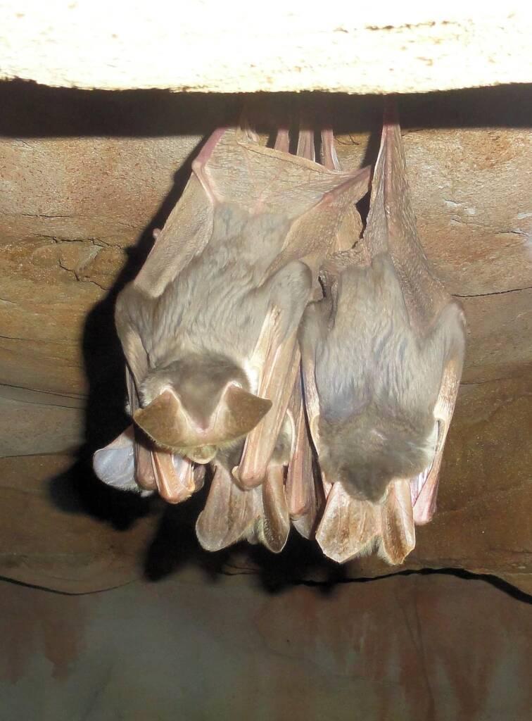 Ghost Bat (Macroderma gigas)