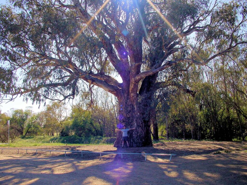 Giant Red Gum (Eucalyptus camaldulensis), Orroroo, SA