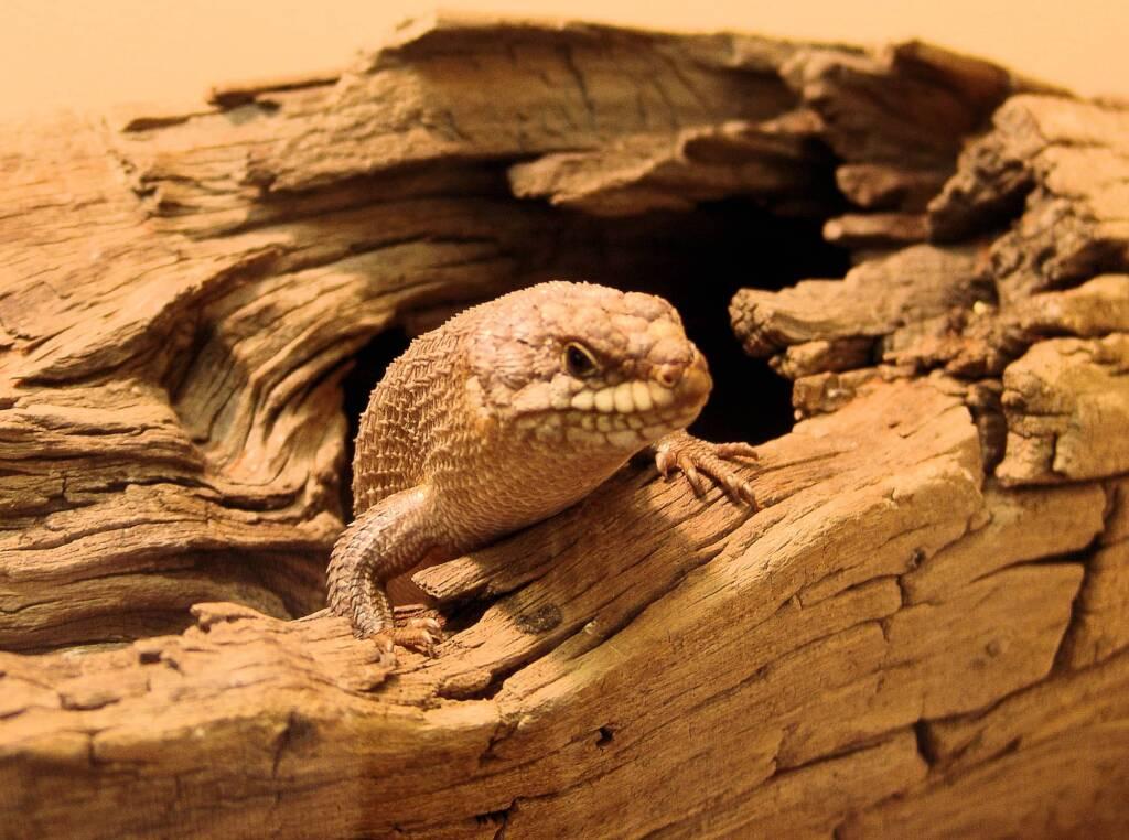 Gidgee Skink (Egernia stokesii), Alice Springs Reptile Centre