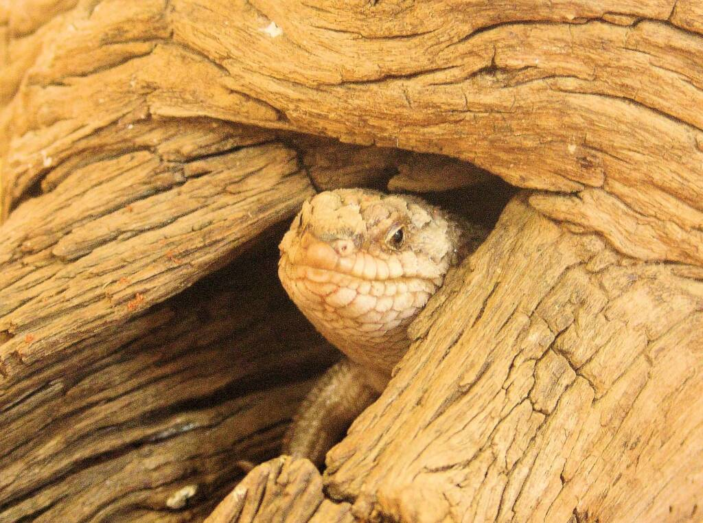 Gidgee Skink (Egernia stokesii)