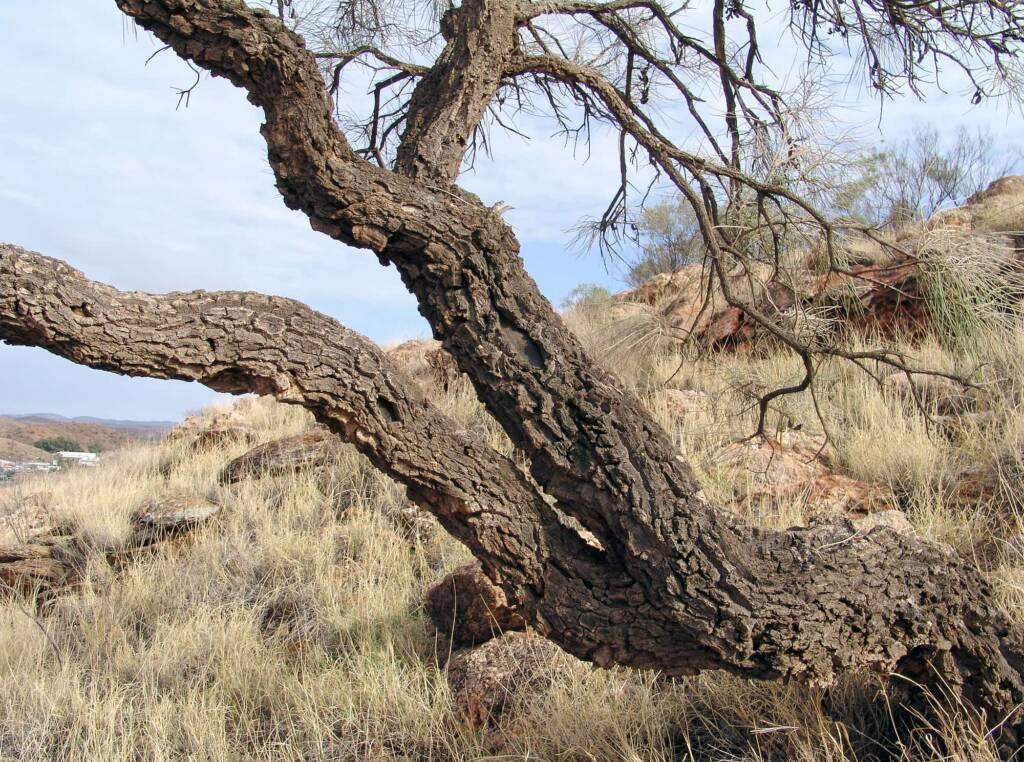 Gnarled Corkwood on Untyeyetwelye - ANZAC Hill, Alice Springs, NT