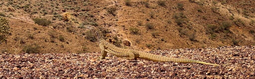 Goanna at Kanku–Breakaways Conservation Park