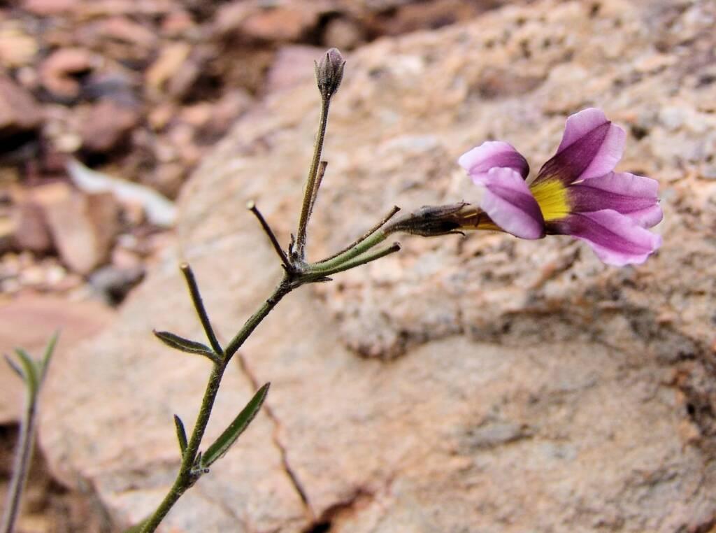 Goodenia vilmoriniae, Redbank Gorge, NT