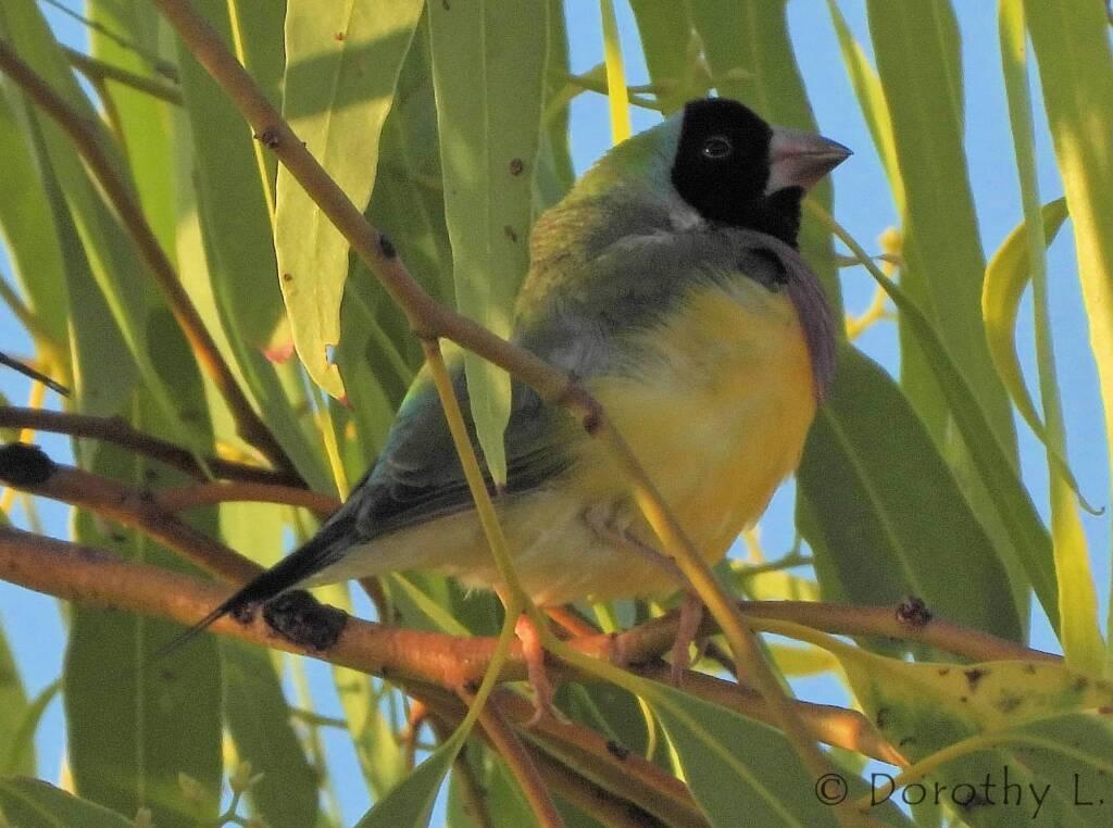 Gouldian Finch (Chloebia gouldiae)