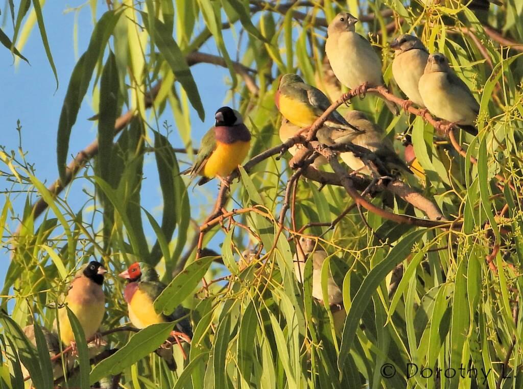Gouldian Finches (Chloebia gouldiae)