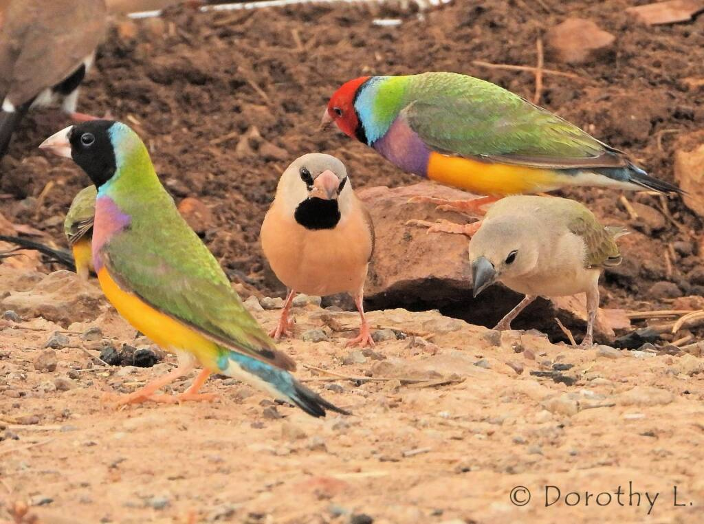 Gouldian Finches (Chloebia gouldiae) and Long-Tailed