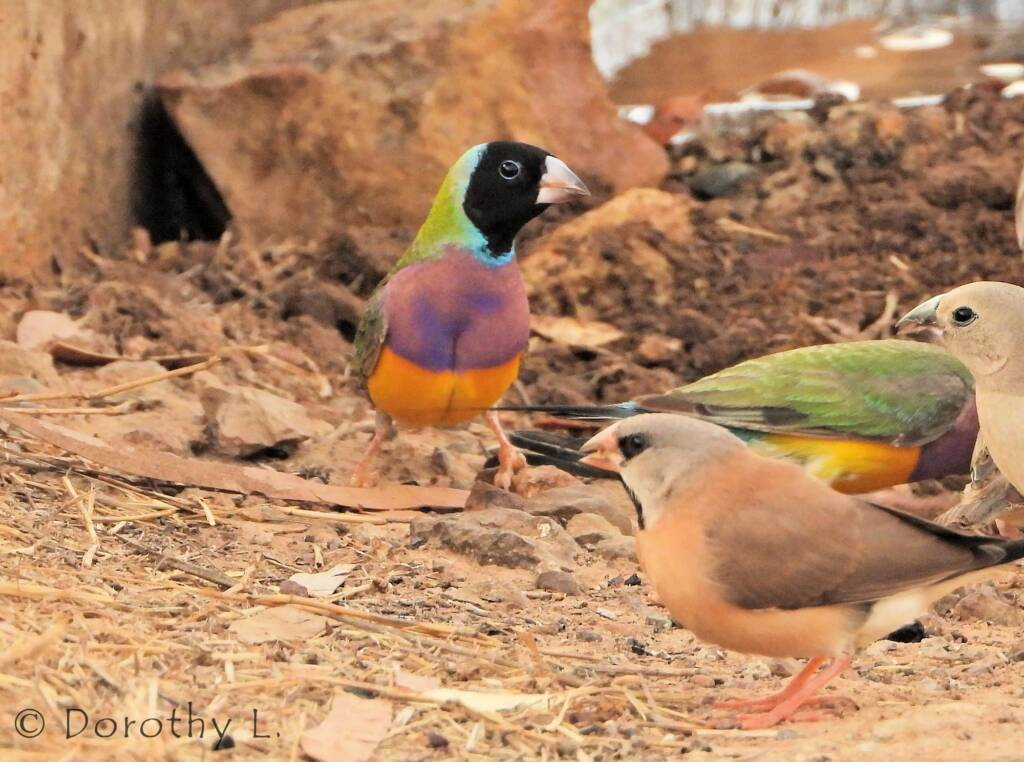 Gouldian Finch (Chloebia gouldiae) and Long-Tailed