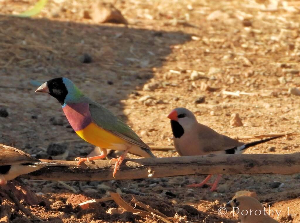 Gouldian Finch (Chloebia gouldiae) and Long-Tailed (Poephila acuticauda)
