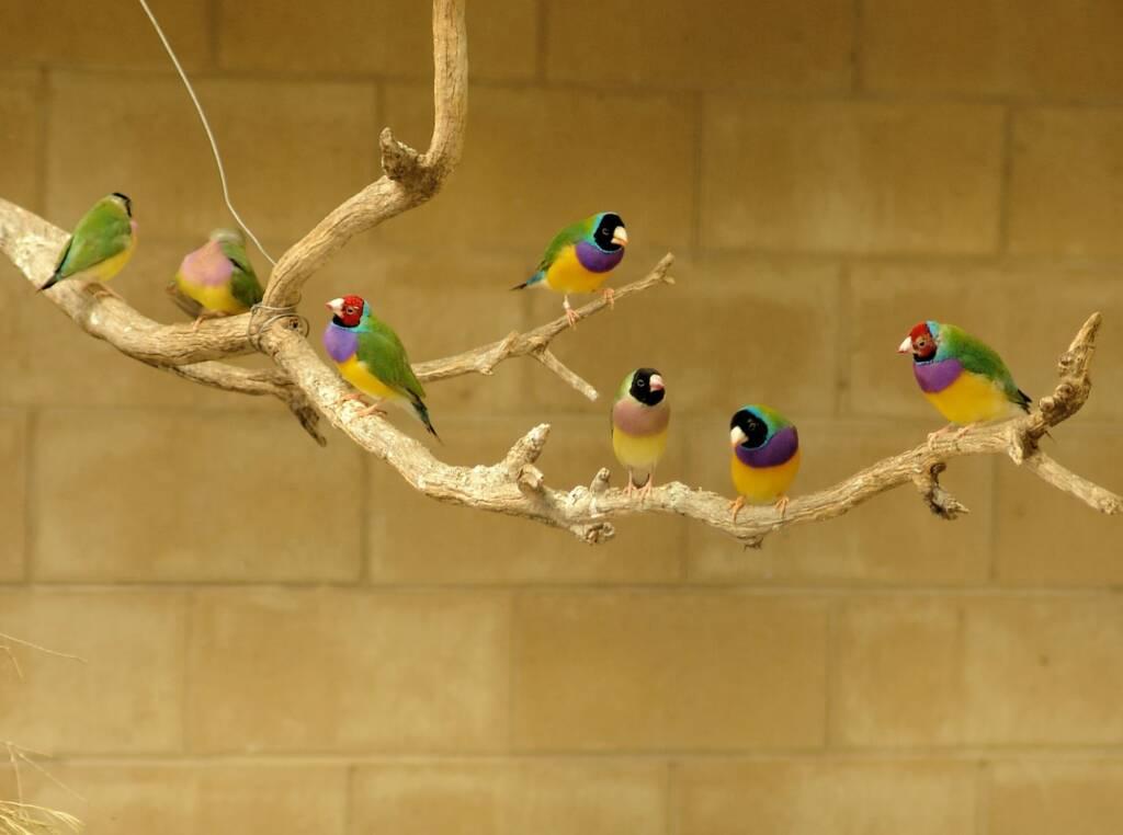 Gouldian Finches, Kyabram Fauna Park, VIC