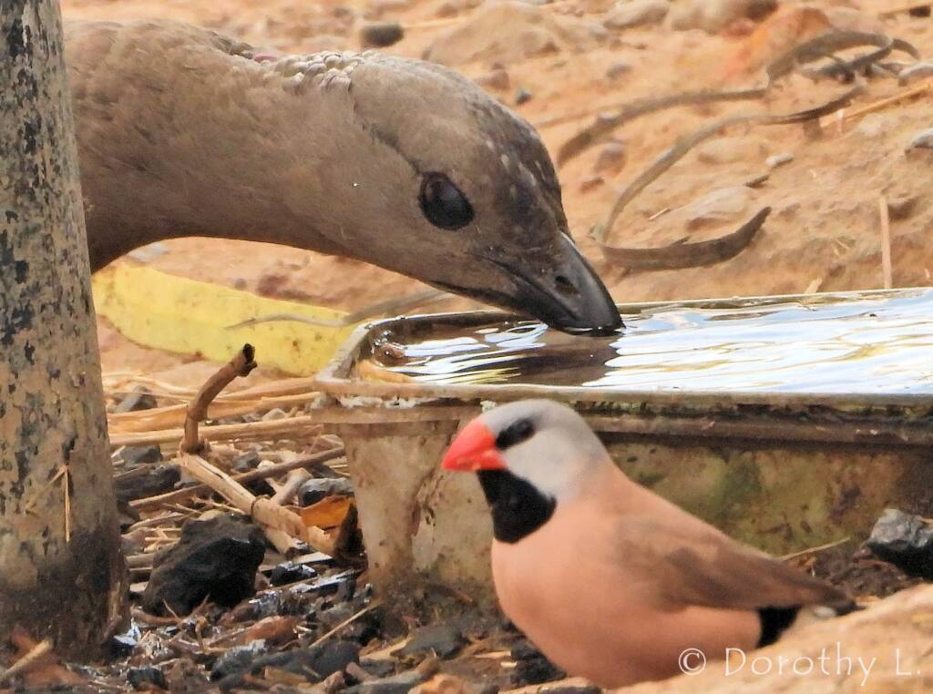 Long-tailed Finches and Great Bowerbird
