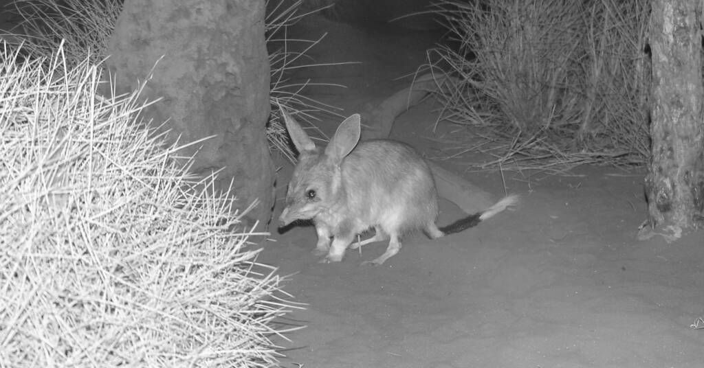 Greater Bilby (Macrotis lagotis), Nocturnal House, Alice Springs Desert Park