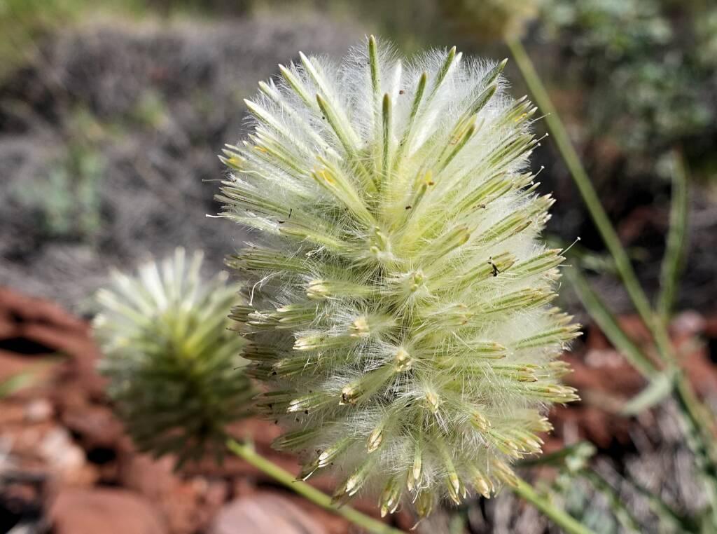 Green Pussytail (Ptilotus macrocephalus)
