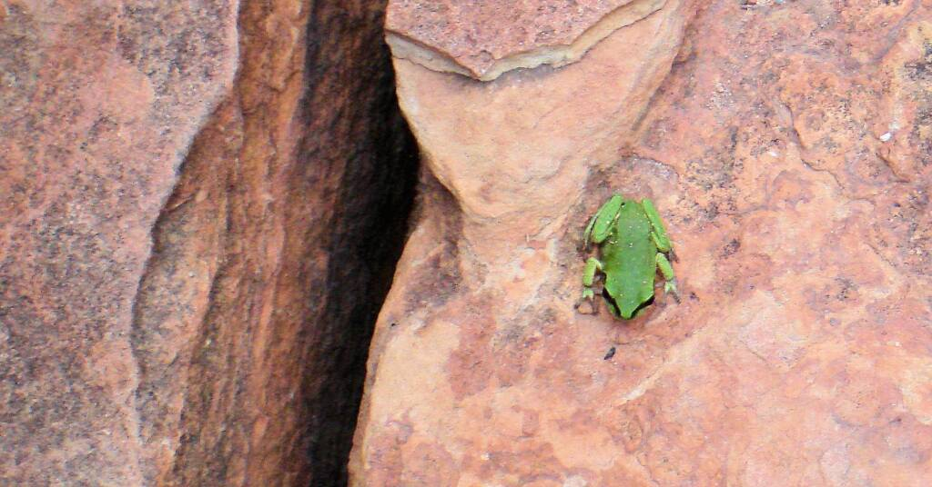 Centralian Green Frog, Kings Canyon