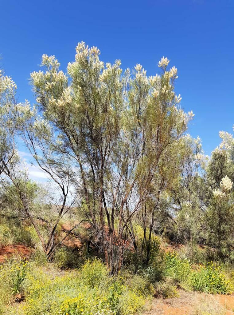 White Spider Flower (Grevillea albiflora), Alice Springs Desert Park