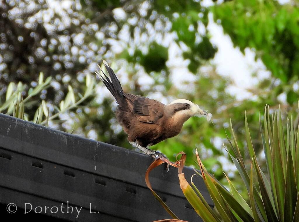 Grey-crowned Babbler (Pomatostomus temporalis), Alice Springs, NT