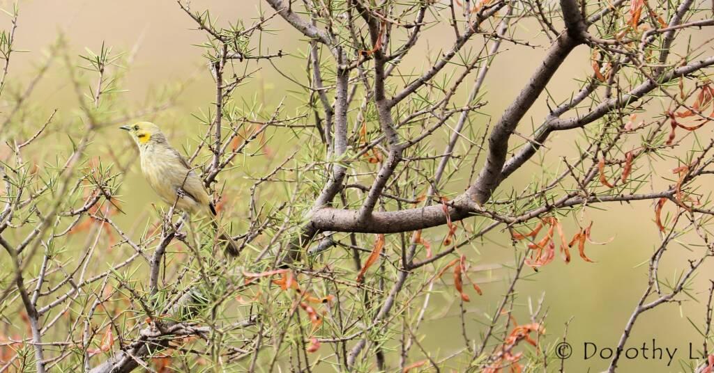 Grey-fronted Honeyeater (Ptilotula plumula)