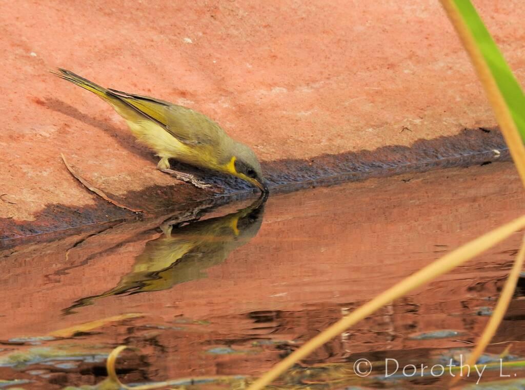 Grey-headed Honeyeater (Ptilotula keartlandi)